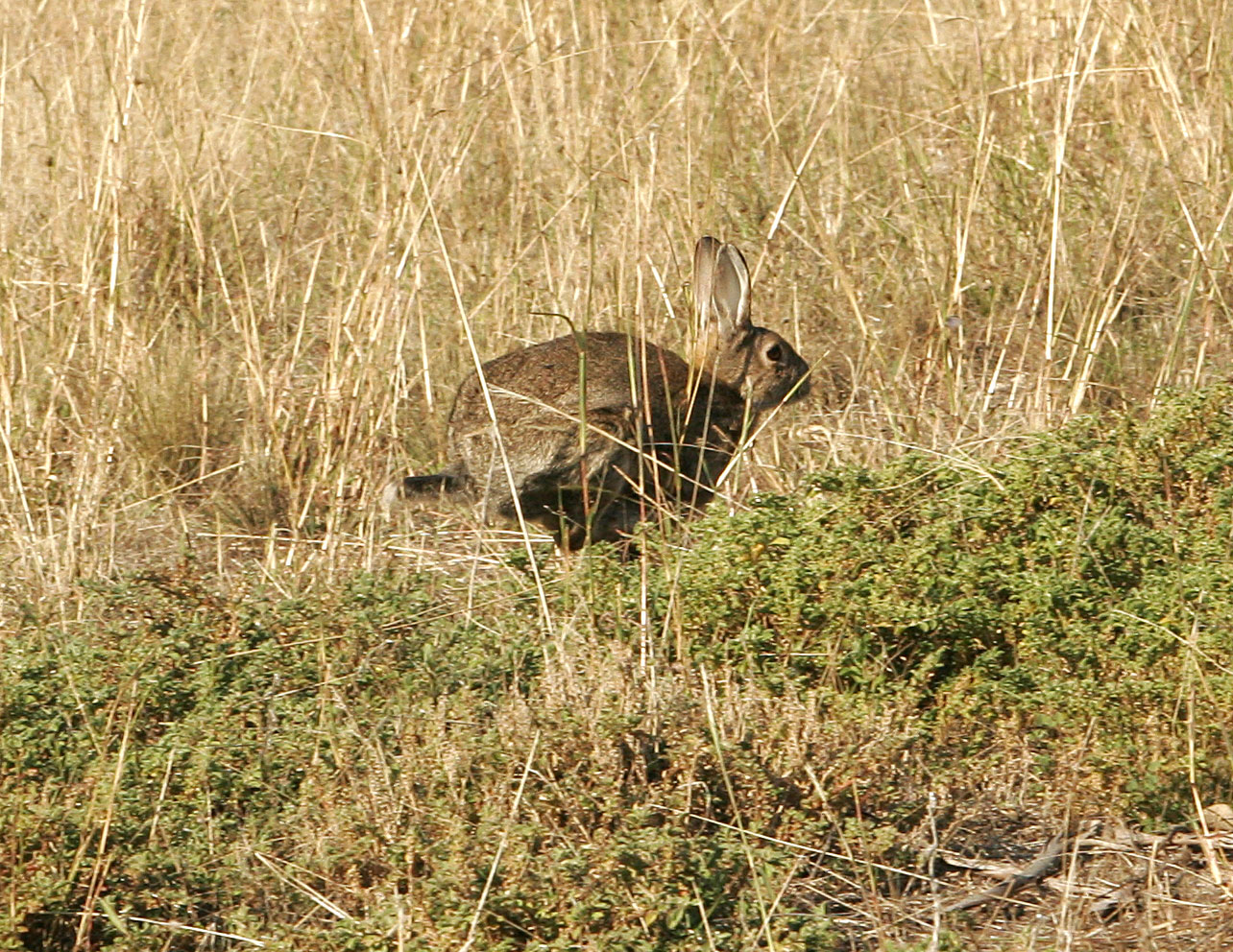 Image:Wild rabbit.jpg
