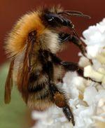 Bumblebee closeup cropped.jpg