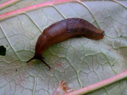Unknown slug on rhubarb.jpg