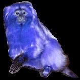 Arquivo:Mico azul.JPG