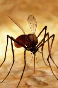 En mygg i arbeid.