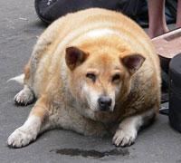 Dog obesity.jpg