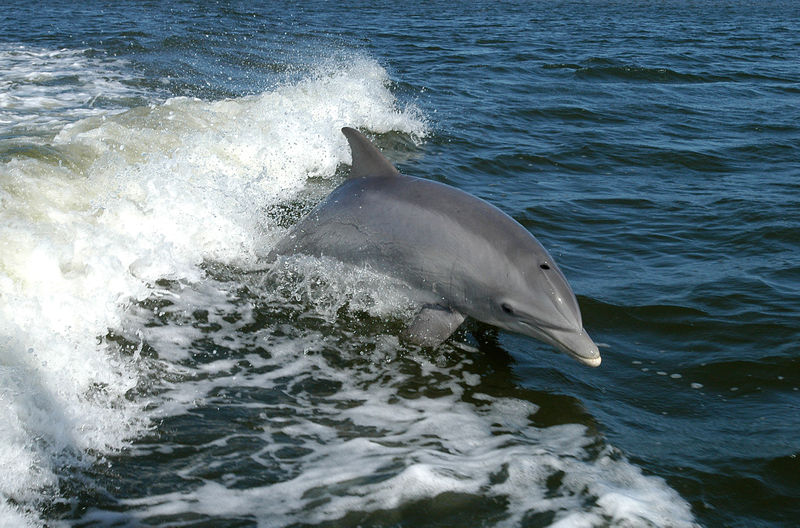 File:800px-Bottlenose Dolphin KSC04pd0178.jpg
