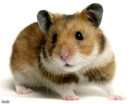 File:HamsterREX 468x362.jpg