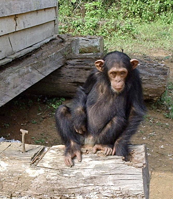 Image:South Djoum Chimp.jpg