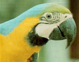 En papegøye speider etter kjøtt.