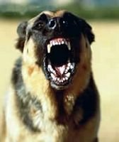 Germanshepherdsnarling.jpg
