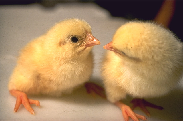 ファイル:Close up of chicks.jpg