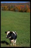 Cow-field-19.4.jpg