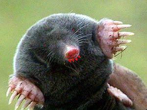 Mole Uncyclopedia The Content Free Encyclopedia
