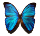 Blue morpho butterfly.png