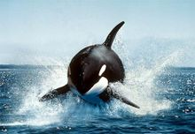 Orca pulando na água.