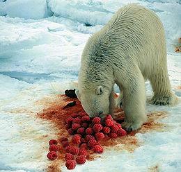 Isbjørnen er glad i god mat, og elsker bringebær eller bjørnebær med is til dessert.