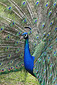 250px-Peacock front02 - melbourne zoo.jpg