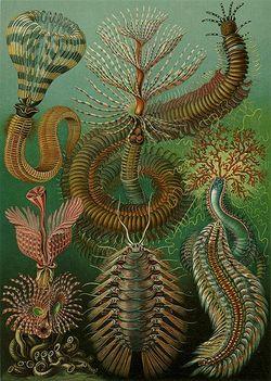 Haeckel Chaetopoda.jpg