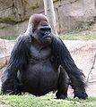 Gorilla with Downs Syndrome.jpg