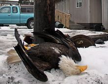 Dead bald eagle.jpg
