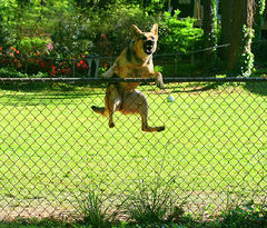 Germanshepherdfence.jpg