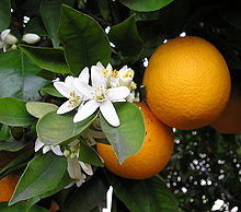 Pode agradecer a Desciclopédia! Sem ela você não saberia que as flores da laranja são brancas.