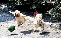 Chickenfootball.jpg