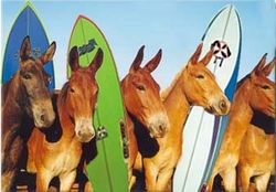 Surfer donkeys.jpg