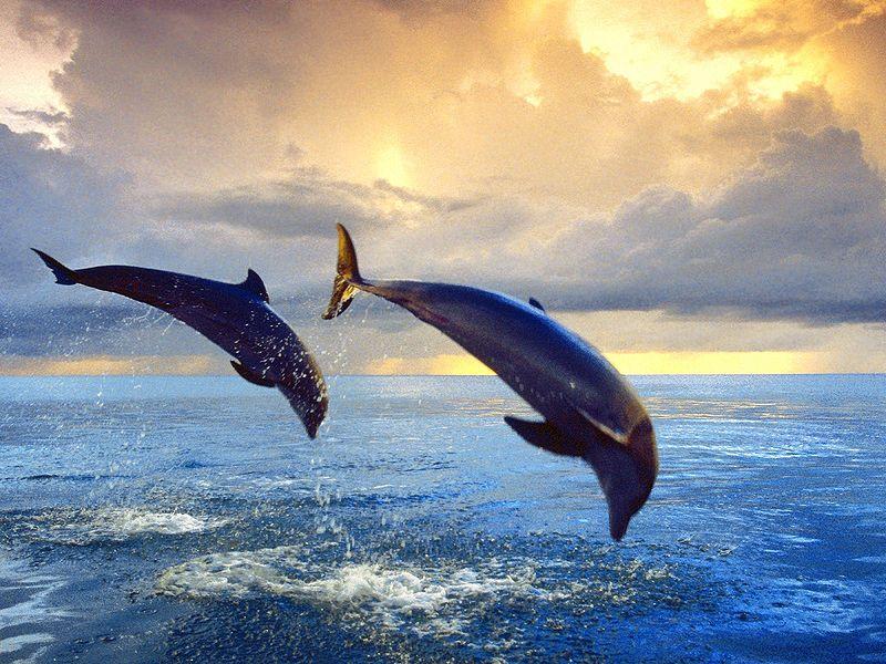 File:Bottlenose Dolphins.jpg