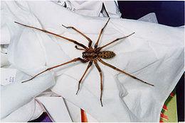 Edderkoppen ligger og venter på deg.