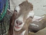 Goatseee ok its a goat.jpg