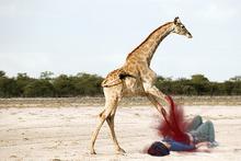 Ataques de Girafas são mortais na maioria dos casos. [Se atacado, role em posição fetal e perca o controle de suas entranhas, isto pode causar confusão a sua atacante.]