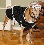 French maid dingo.jpg