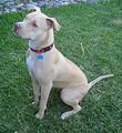 220px-American Pit Bull Terrier - Seated.jpg
