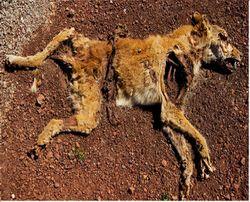 Dead dingo.jpg