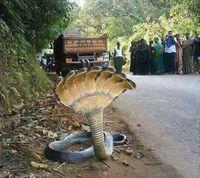 Serpe indiana.jpg
