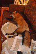 Raposo canso no sofá.jpg