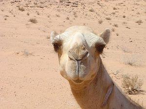 Cameljordaniandesert.jpg
