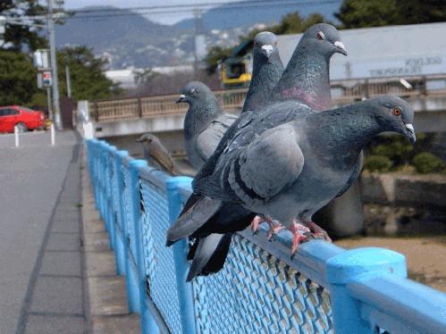 ファイル:鳩.jpg