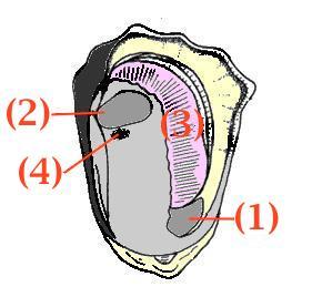 牡蠣の体.JPG