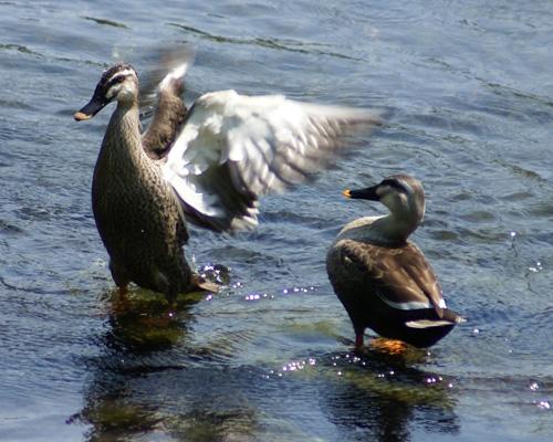 ファイル:Duckduck.jpg