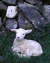 座る子羊.jpg