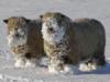 雪と羊.PNG