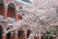 江田島桜.jpg