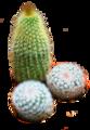 Chincactus.png