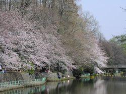 野川の桜.jpg