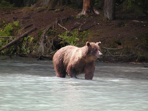 Vaizdas:Red bear 7.JPG