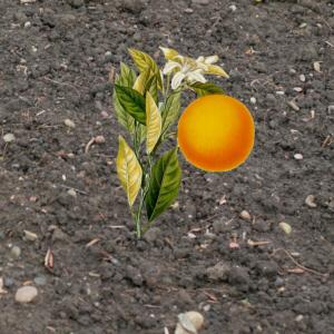Appelsienboomke.JPG