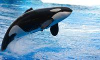 Pretpark Sea World stopt met mishandeling orka's