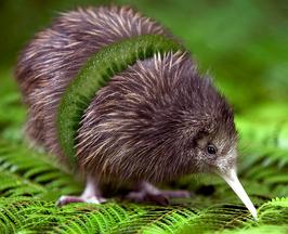 Een doorsnee kiwi