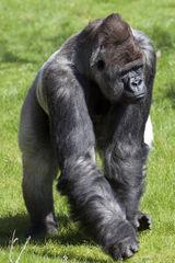 GorillaBokito.png