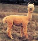 Lamaen, et elegant og vakkert dyr.