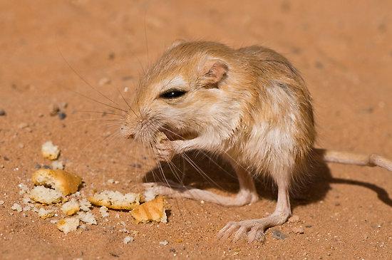 Ørkenrotte.jpg
